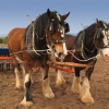 Shire Horses © Richard Clegg