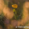 PPG1415-750-Corn Marigold_Tim Cartwright-Tim Cartwright