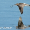 PPG1415-750-Curlew(W)-Pete Menear-PPG-Peter Menear