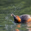 Little Grebe shake-024
