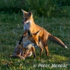 PPG1516-500-Fox mother and cub(w)-Peter Menear-PPG-