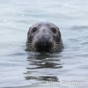 PPG1516-500-Seal at Godrevy (N)-022-