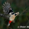 PPG1516-750-GS Woodpecker(w)-024-Peter Menear