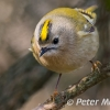 PPG1516-750-Goldfinch_024-Peter Menear