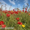 PPG1516-750-Poppies at West Pentire-022-
