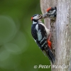 PPG1617-500-Great Spotted Woodpecker-024-Peter Menear