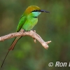 PPG1617-750-Bee Eater_004-
