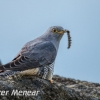 PPG1617-750-Cuckoo+Hairy caterpillar-024-Peter Menear