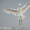 PPG1617-750-Little egret-024-Peter Menear