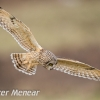 PPG1617-750-Short Eared Owl (W)-Peter Menear-PPG-Peter Menear