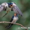 PPG1617-750-Swallows Pairing-024-Peter Menear