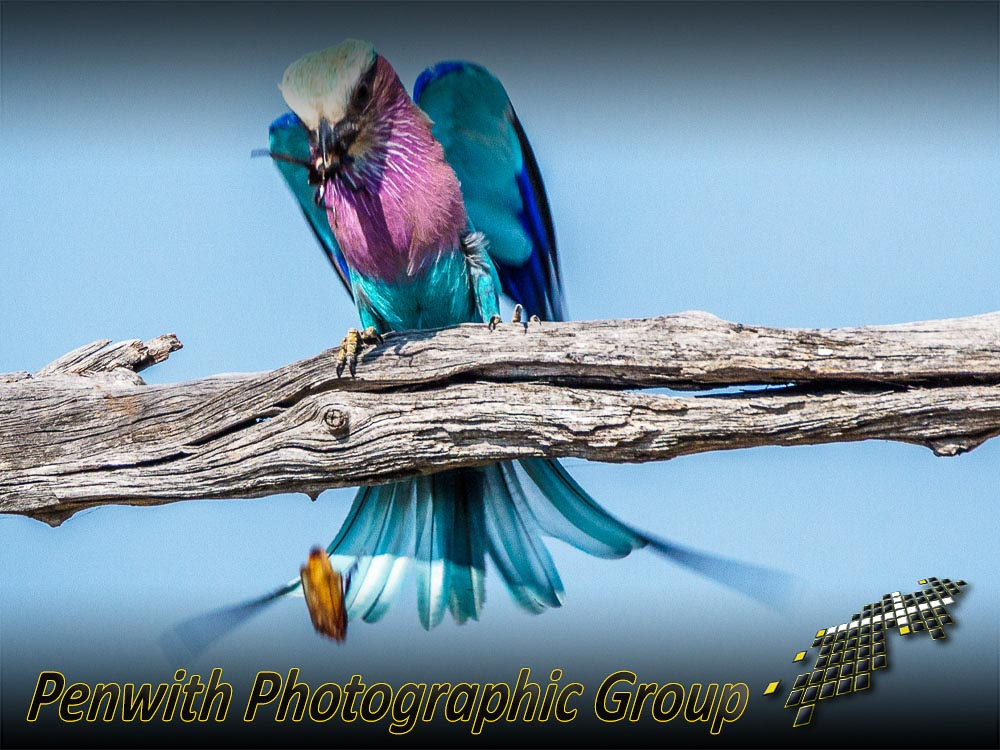 Lilac-Breasted-Roller-059